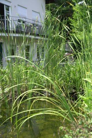 Hohes Gras im Wasser mit Blick aufs Haus